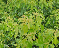 Cinnamomum Camphora (L) Presl